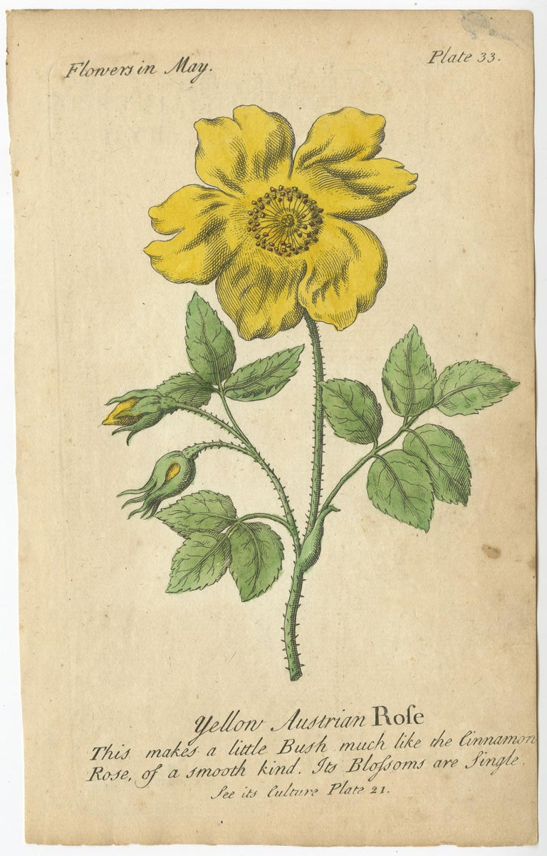 English Antique Print of the Yellow Austrian Rose, Cinnamon Rose and Orange Lilly, 1747 For Sale