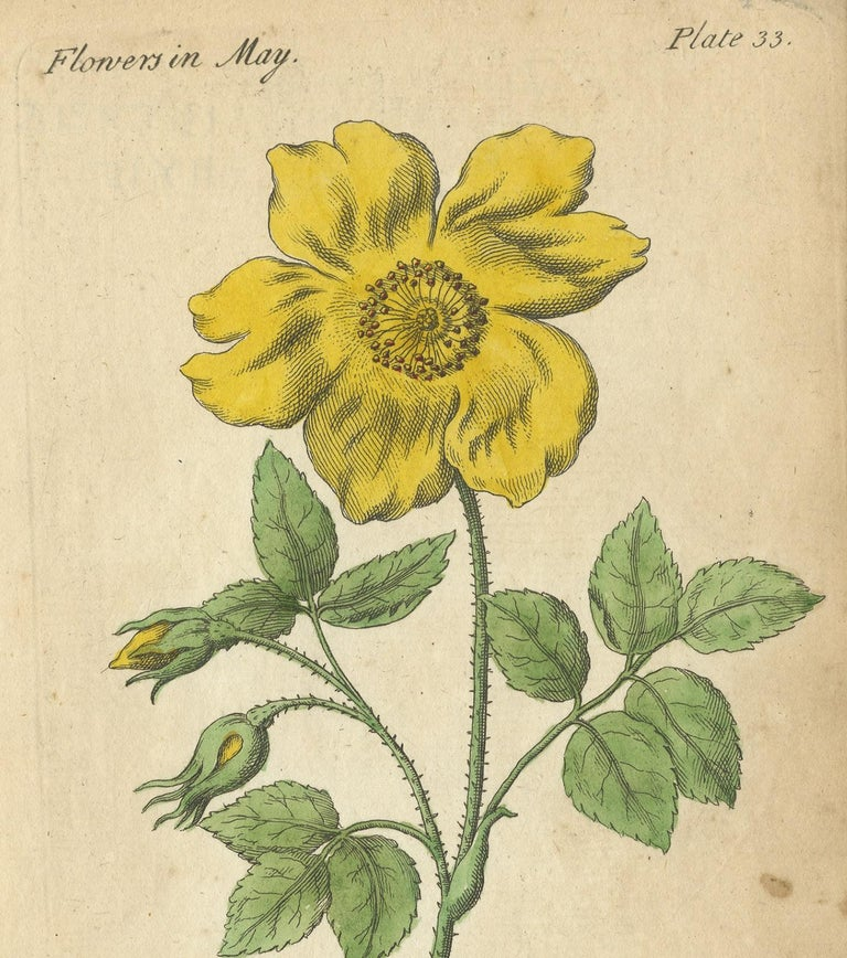 Antique Print of the Yellow Austrian Rose, Cinnamon Rose and Orange Lilly, 1747 In Good Condition For Sale In Langweer, NL