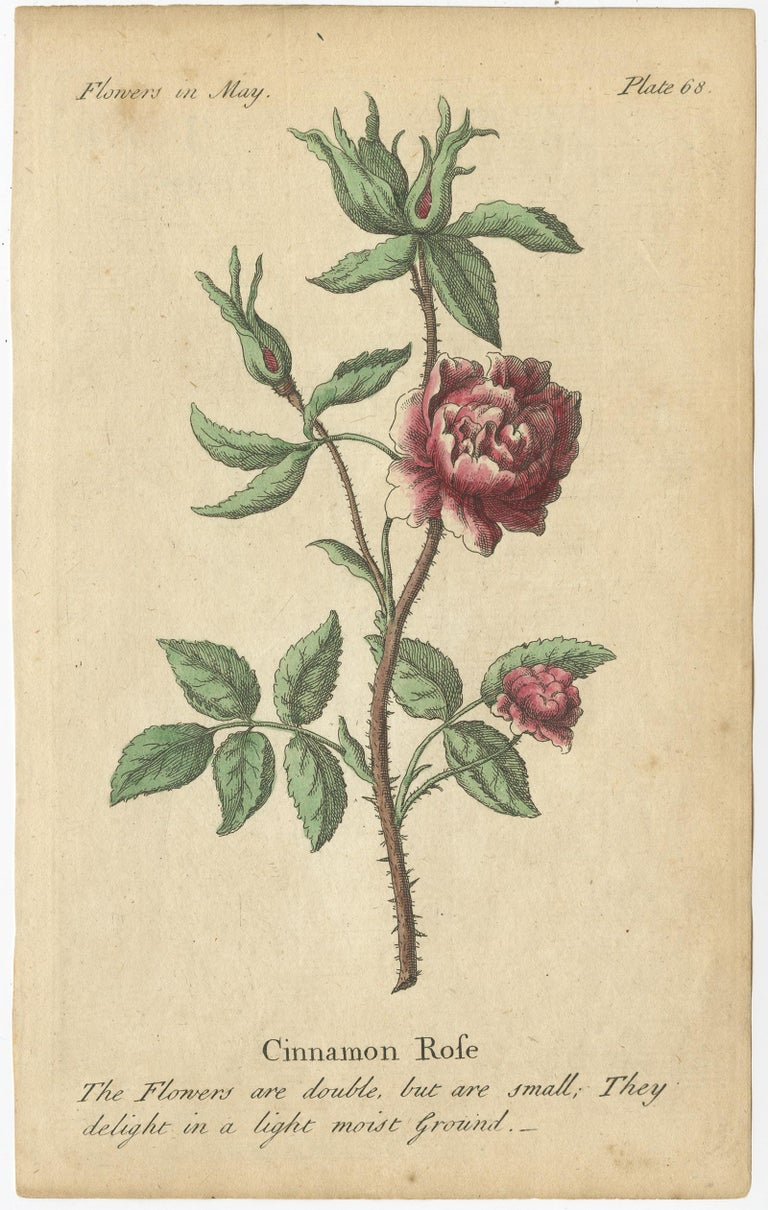 18th Century Antique Print of the Yellow Austrian Rose, Cinnamon Rose and Orange Lilly, 1747 For Sale