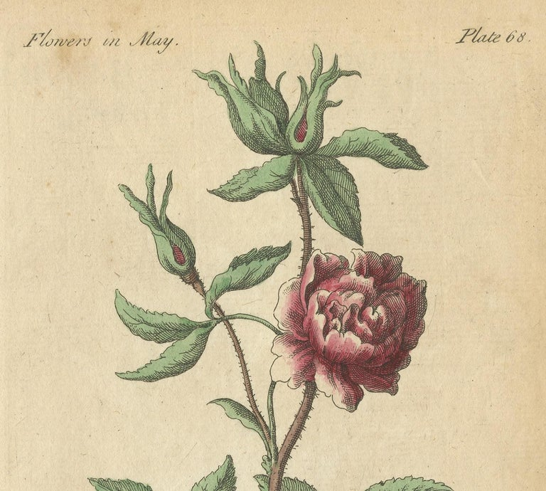 Paper Antique Print of the Yellow Austrian Rose, Cinnamon Rose and Orange Lilly, 1747 For Sale