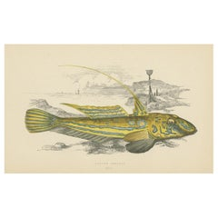 Antique Print of the Yellow Skulpin Fish by J. Couch, circa 1870