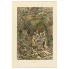 Antique Print of Tigers by Brehm 'c.1890'