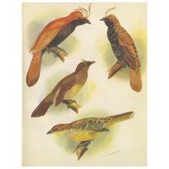 Antique Print of various Crested Golden Bird & Lauterbachs Bower Bird, 1950