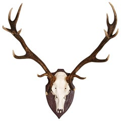Antique Red Deer Antler Mount with 14 Points from Denmark