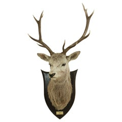 Antique Royal Taxidermy Stag by Spicer of Leamington, Red Deer, Mounted on Oak