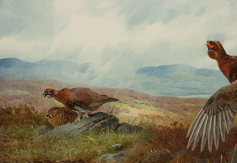 Signed Artist Proof, Archibald Thorburn, Summer, Grouse. A single framed Archibald Thorburn game bird colotype from his 'Seasons' series, this being 'SUMMER'. The single picture is of red Grouse on the moor published by W.F. Embleton (successor to