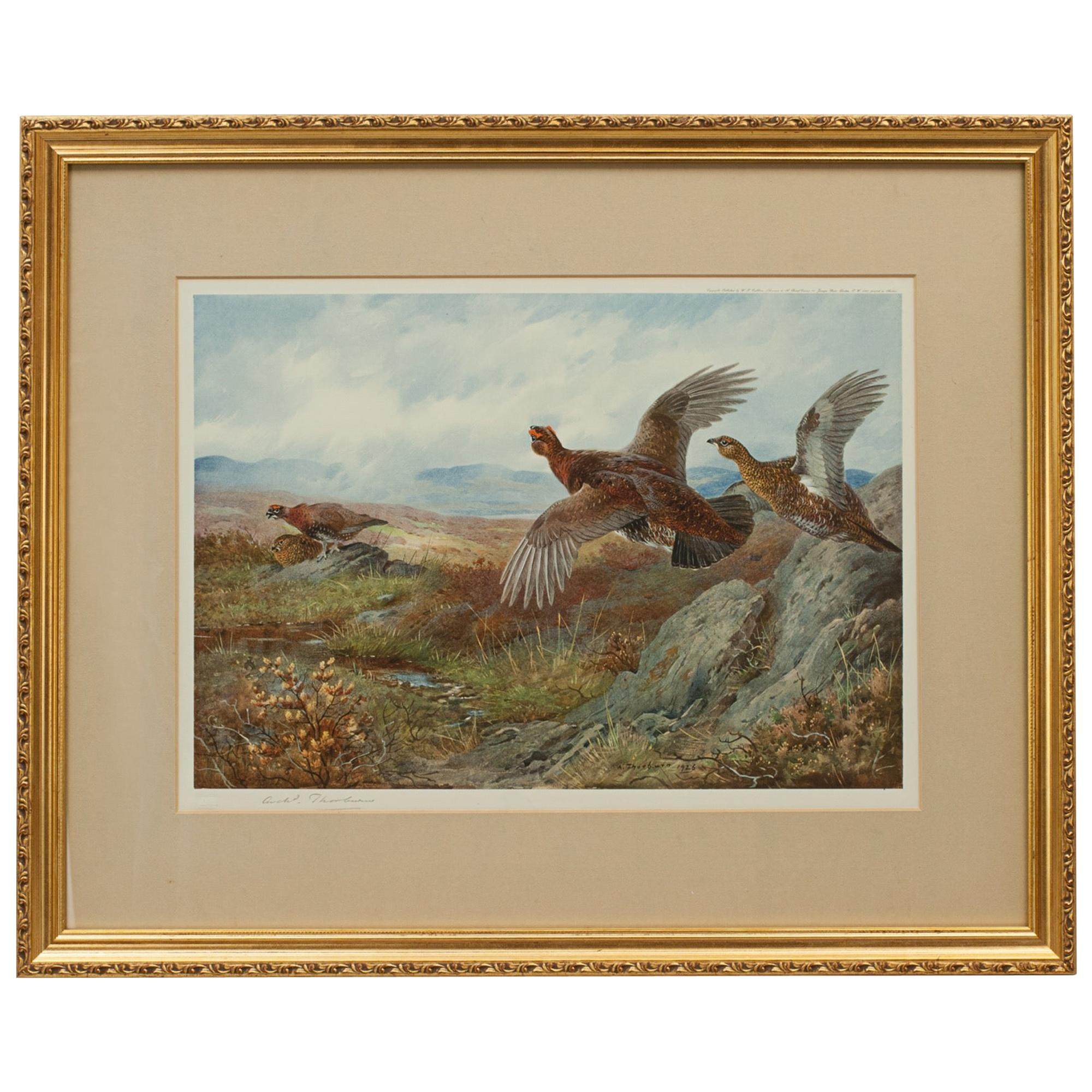 Antique Shooting Print, the Seasons by Archibald Thorburn, Summer, Grouse