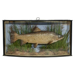 Antique Taxidermy Fishing, Brown Trout in Bow Fronted Case by Cooper