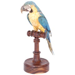 Antique Taxidermy Parrot or Macaw on a Rosewood Stand