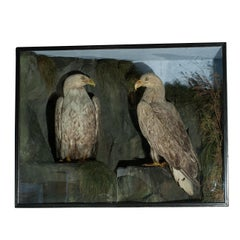 Antique Taxidermy Sea Eagles by Henry Ward, 19th Century