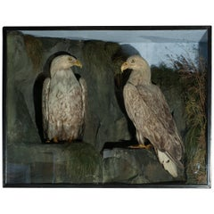Antique Taxidermy Sea Eagles by Henry Ward, Father of Roland Ward