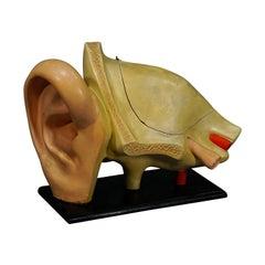 Antique Teaching Aid Modell of an Ear, Somso, circa 1900