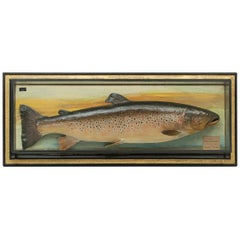 Antique Trophy Fish Model of a Brown Trout by Malloch of Perth
