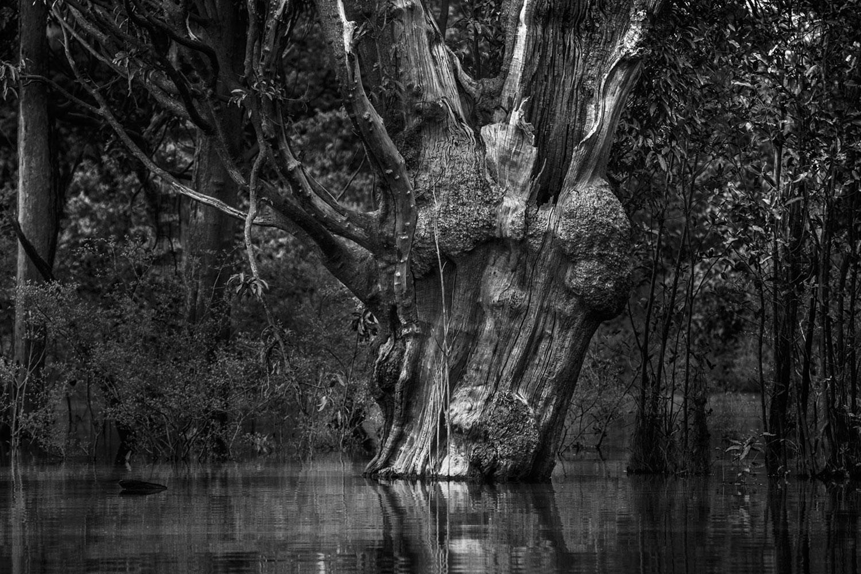 Carabinane Tree I, Jau National Park, The Amazon Forest, Brazil