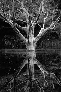 Dead Tree, Jau, The Amazon, Brazil