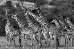 Giraffes, Tanzania, Africa Wildlife