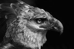 Harpia (Brazilian Birds)