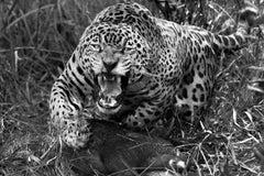 Jaguarete #8, Brazil