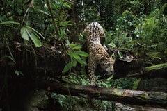 Jaguarete #11, Brazil