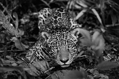 Jaguarete #2, Brazil