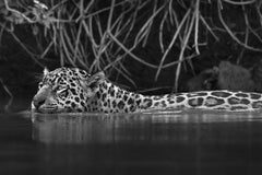 Jaguarete #9, Brazil (Brazilian Wildlife)