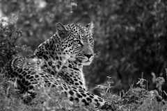Leopard II, Tanzania, Africa, Wildlife