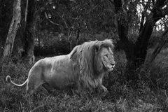Araquem Alcantara - Lion, Tanzania, Africa - Wildlife Black and White Photograph