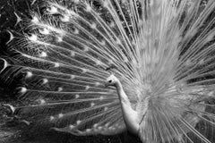 Peacock, Brazil (Photography Black and White)