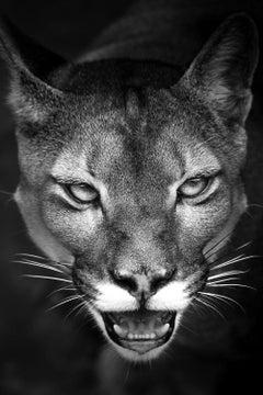 Suçuarana, Cougar, Brazilian Wildlife, Brazil