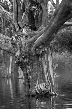 The Amazon Forest, Carabinane Tree, Brazil (Black and White Photography)