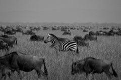 Zebra, Tanzania, Africa Wildlife