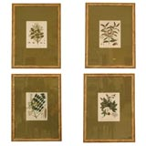 Set of Four Hand Colored Engravings of Tree Specimens