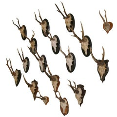Assorted Small Black Forest Roe Buck Mounts