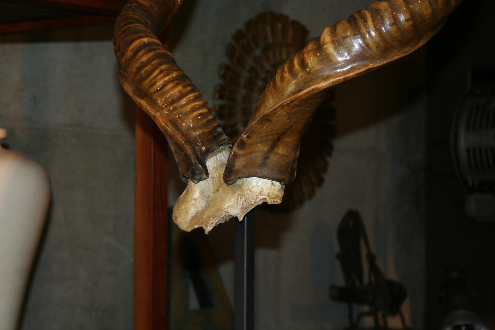 19th Century Rare Mounted Kudu Horns For Sale