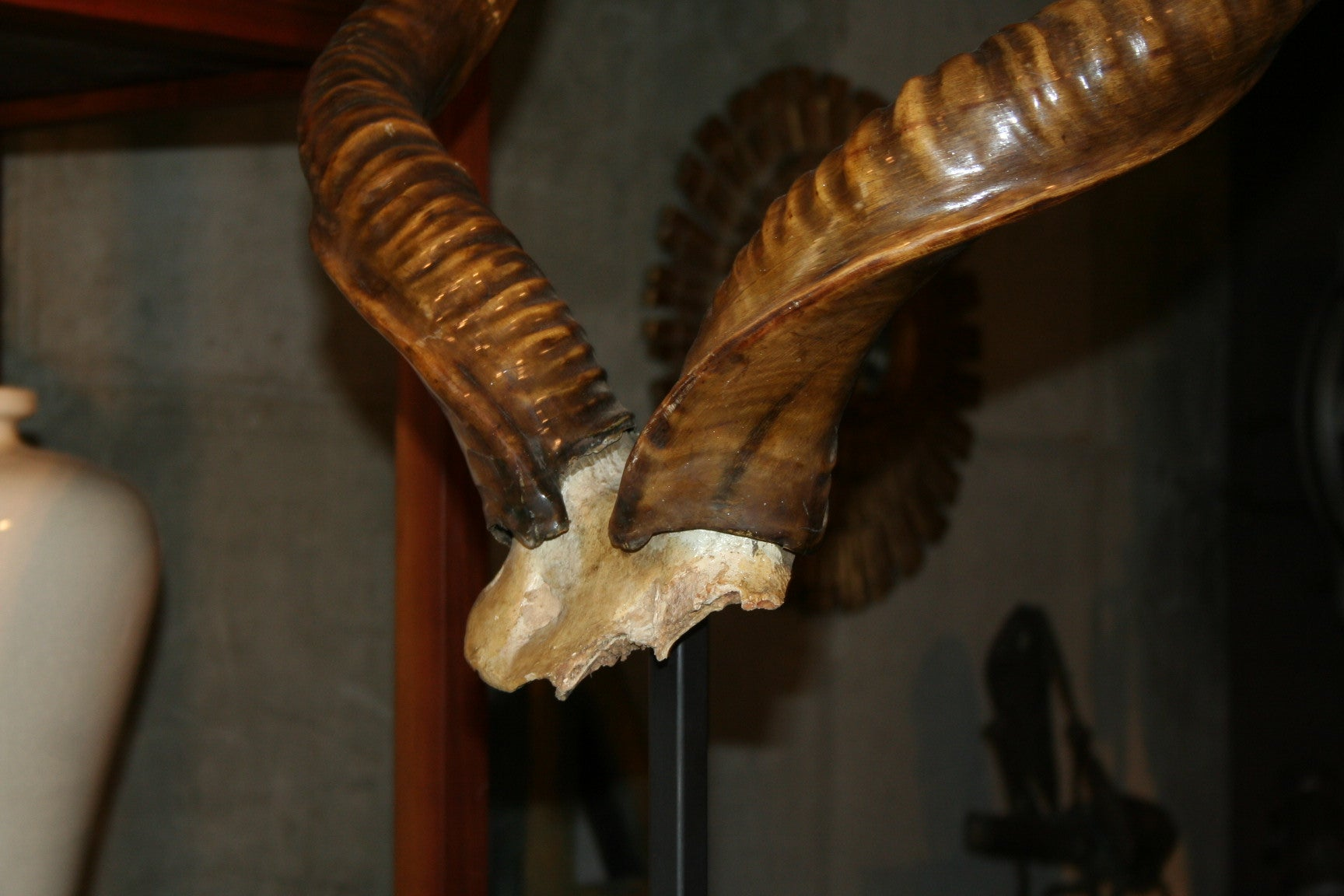 Rare Mounted Kudu Horns For Sale 2