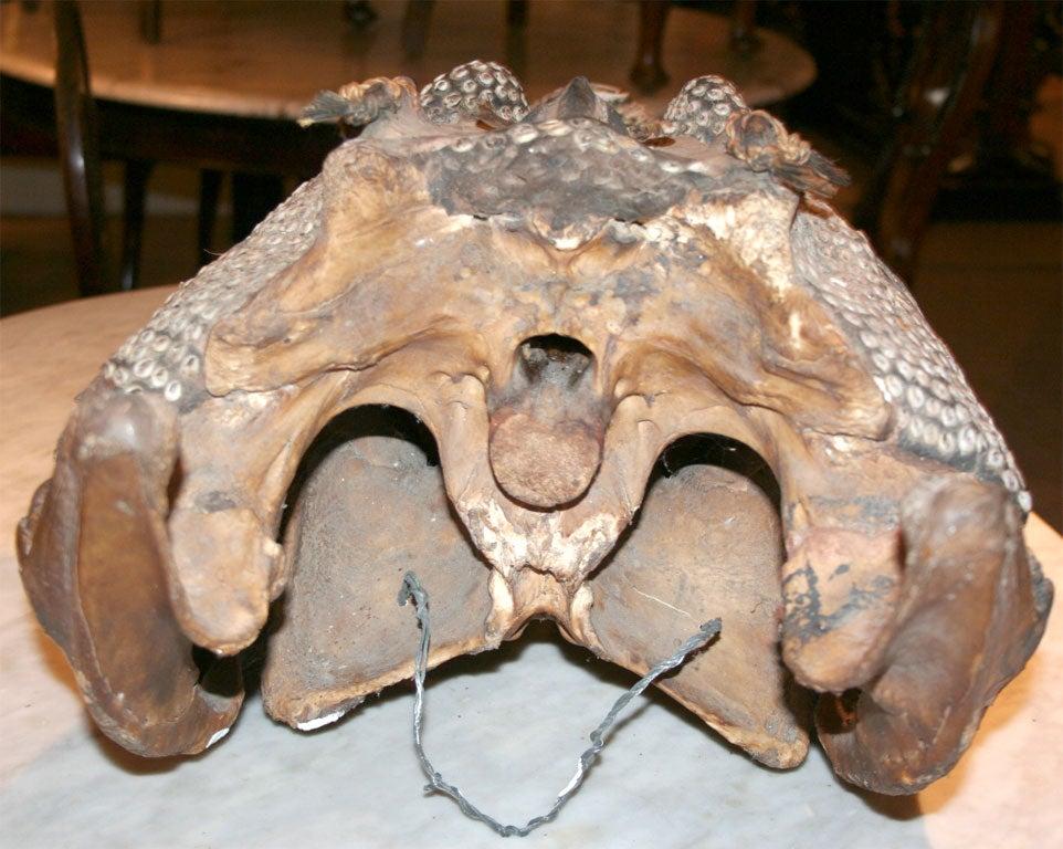 Rare Inlaid Crocodile Head from Papua New Guinea 4