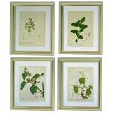 Set of 4 Botanical engravings