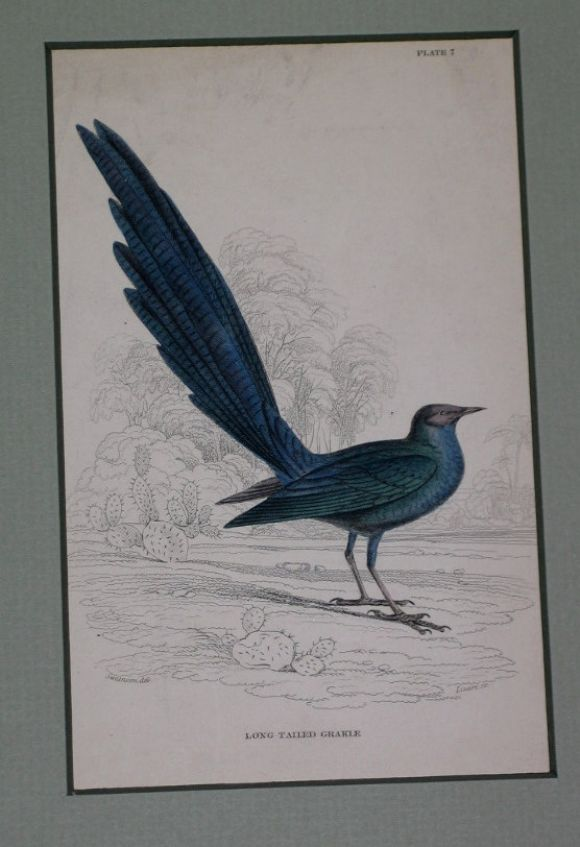 Hand Colored Bird Engravings, circa 1890s For Sale 1