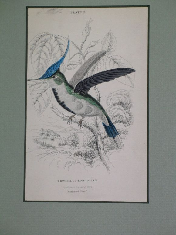 Hand Colored Bird Engravings, circa 1890s For Sale 2