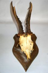 Collection of 24 Mounted Deer Horns thumbnail 3