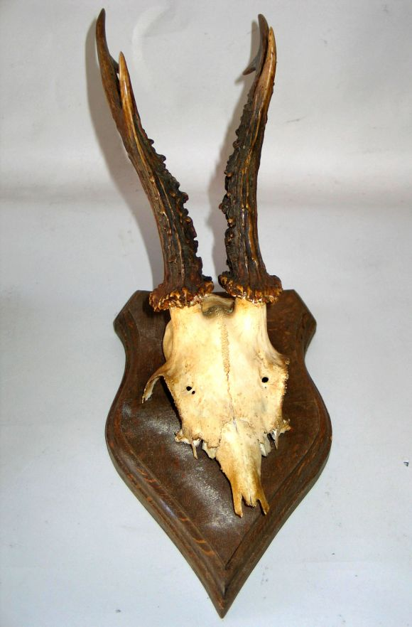 Collection of 24 Mounted Deer Horns image 3