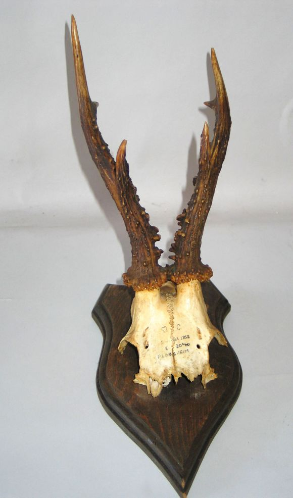 Collection of 24 Mounted Deer Horns image 4