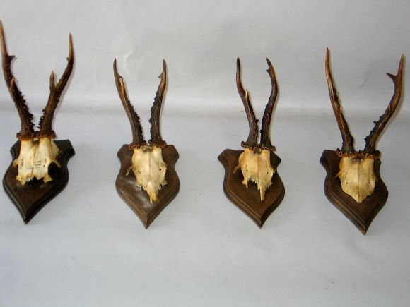 Collection of 24 Mounted Deer Horns image 2