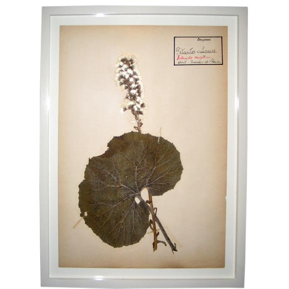 Five French Dried, Pressed and Framed Botanical Specimens