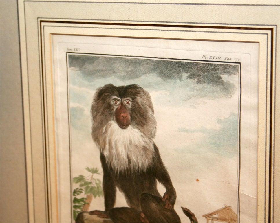 Pair of 18th Century Naturalist Engravings of Monkeys
