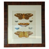 Antique Butterfly Prints Set of Eight