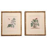 Pair of Antique Engravings Botanical Study