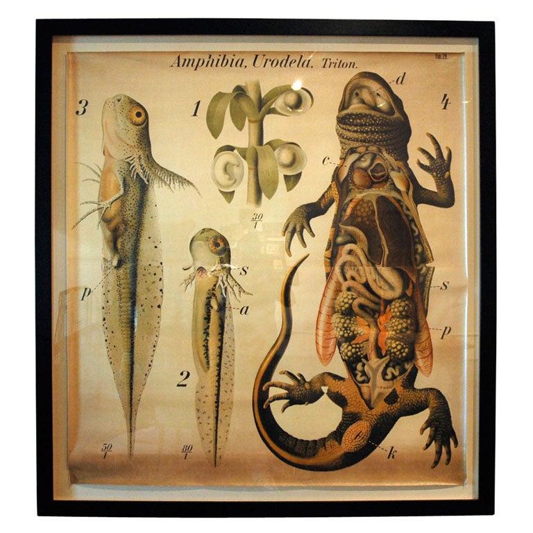 large framed school chart of salamander at 1stdibs