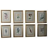 Set of  Eight 19th Century Botanical Prints