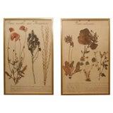 Pair of Framed Botanicals.